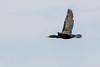 4-26-16 Cormorant 1