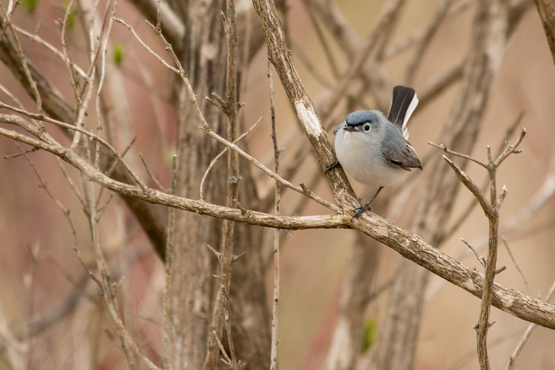 4-30-16 Blue-gray Gnatcatcher 17