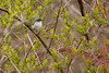 4-30-16 Blue-gray Gnatcatcher 5