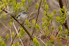 4-30-16 Blue-gray Gnatcatcher 7