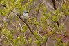 4-30-16 Blue-gray Gnatcatcher 4