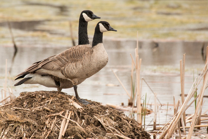 4-30-16 Geese 1