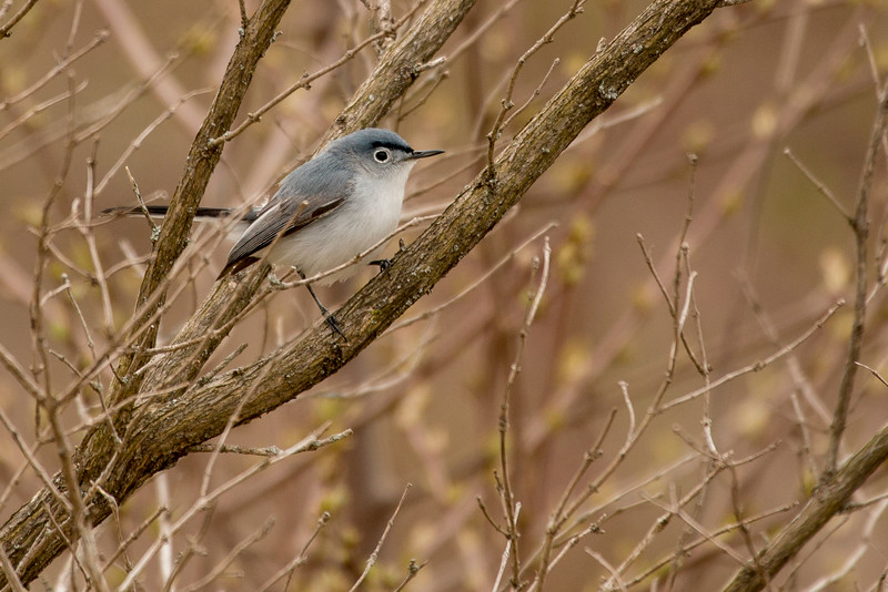 4-30-16 Blue-gray Gnatcatcher 15
