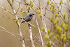 4-30-16 Blue-gray Gnatcatcher 10