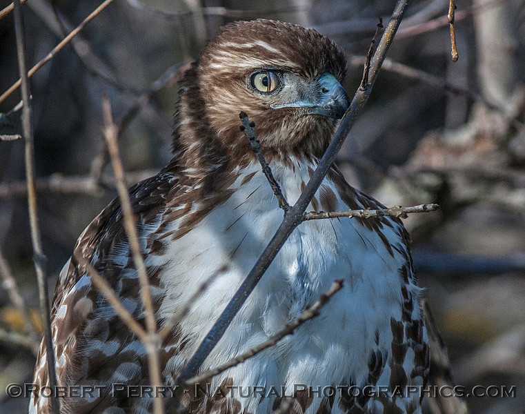 Red-tailed hawk showing its partially closed  nicticating membrane over the eye.