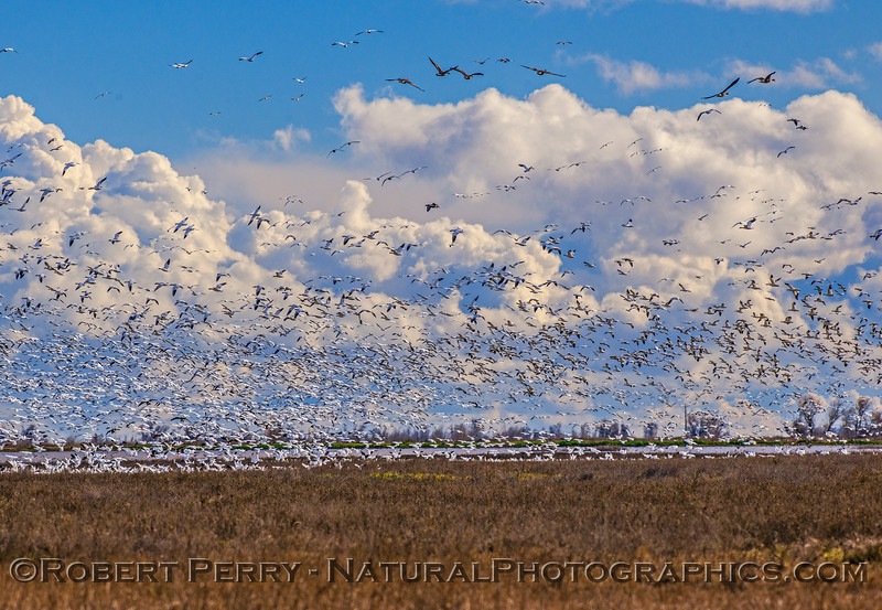 Snow geese and other species.
