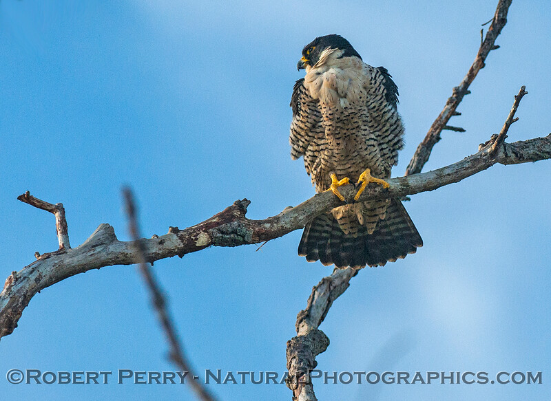 Peregrine falcon with feathers all fluffed-upon a very cool, windy day.
