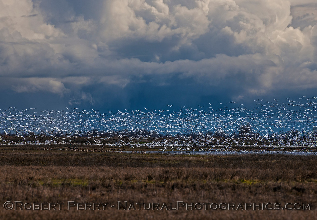 Snow geese.  Storm clouds.