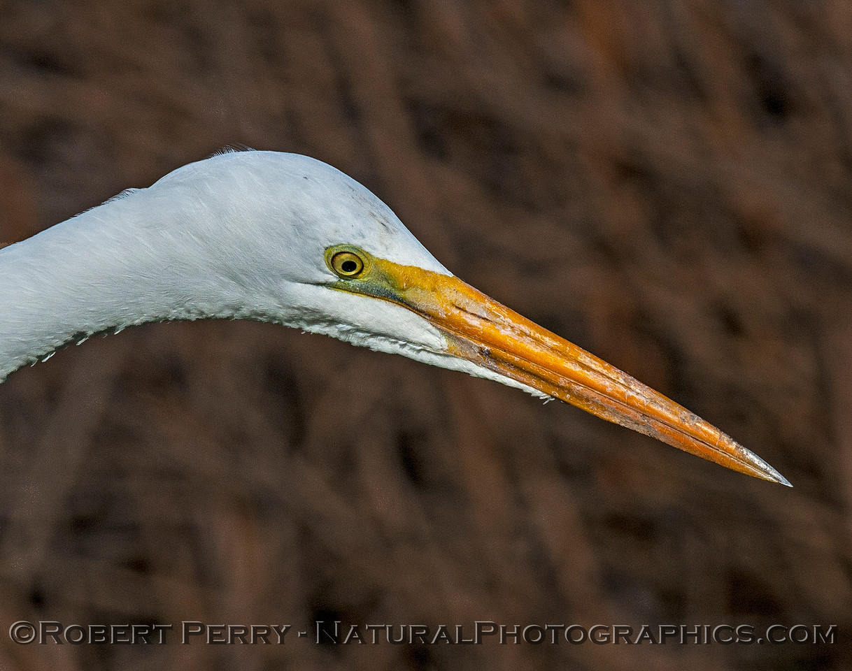 Ardea alba CLOSE 2017 01-23 Sacramento NWR-024