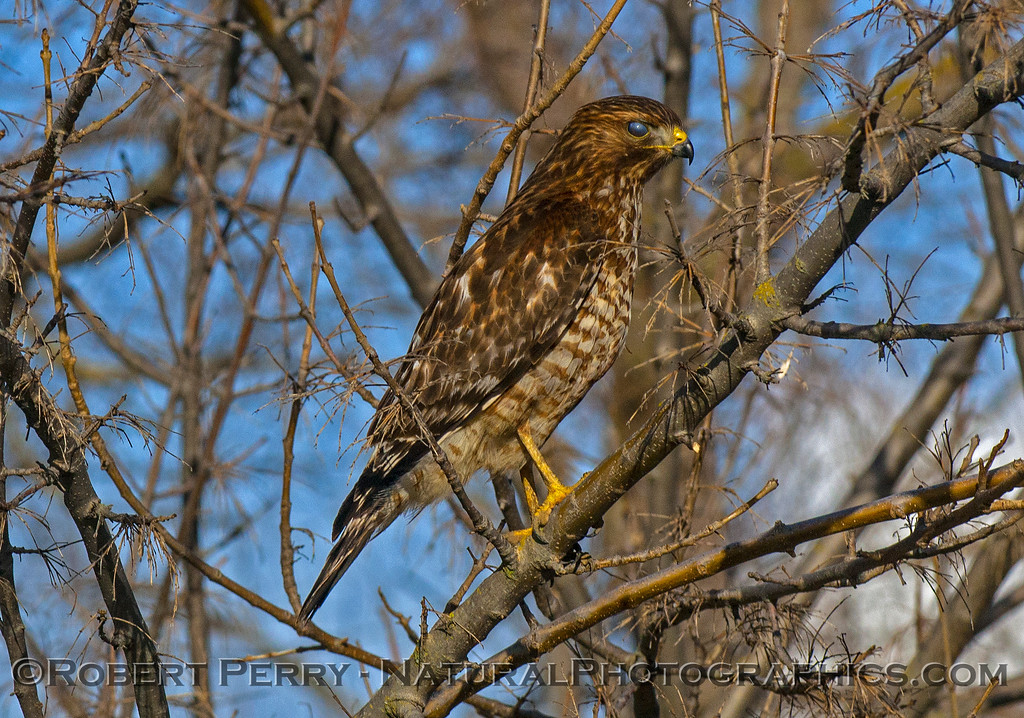 Juvenile red-shouldered hawk with a nicticating membrane covering its eyeball.