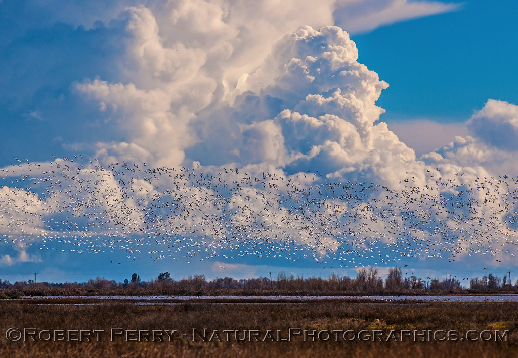 Snow geese and other species over the estuary with storm clouds in back.