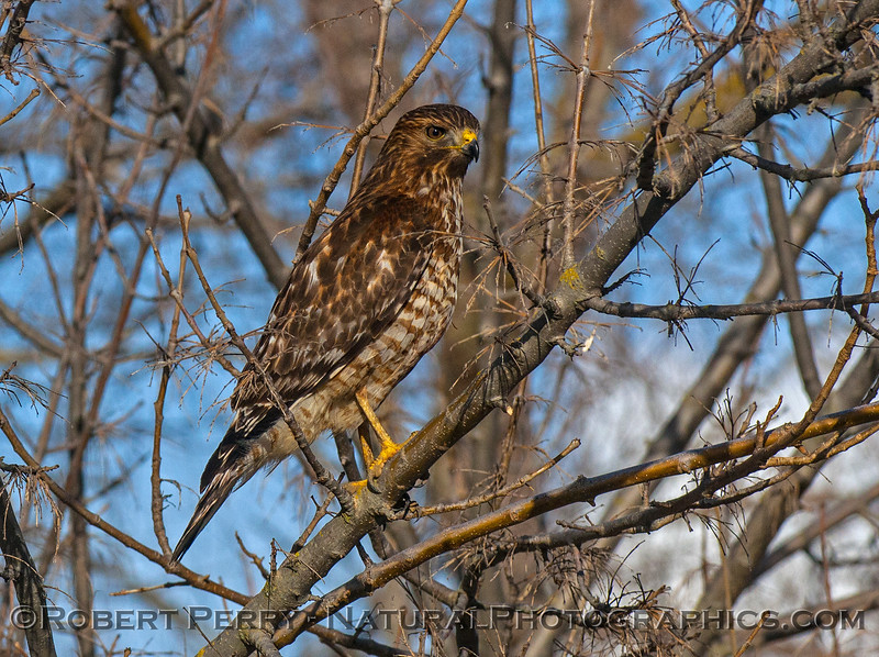 A juvenile red-shouldered hawk with eyeball not covered by a nicticating membrane.