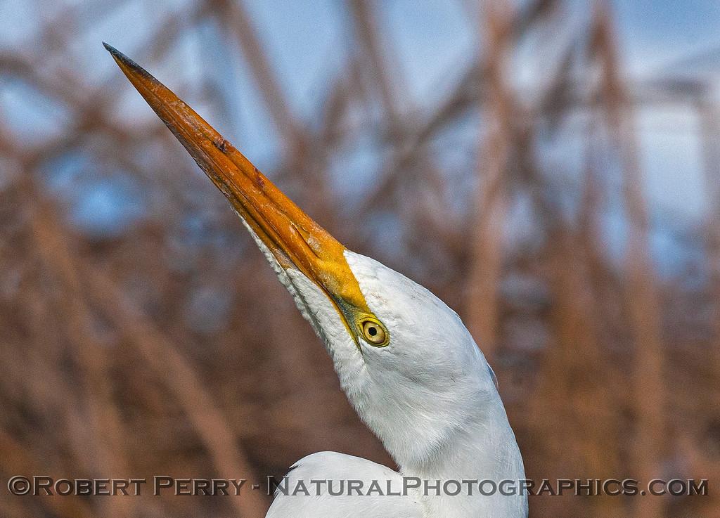 Great white egret.