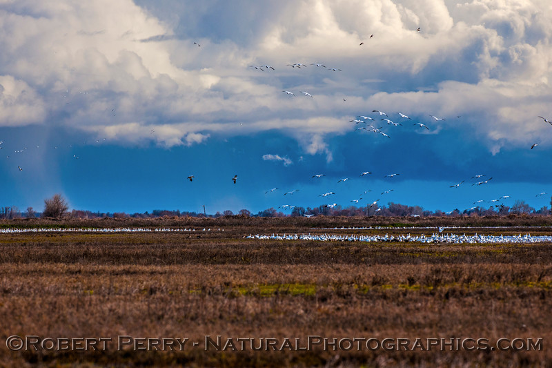 Dark storm skies in back of snow geese and other species.