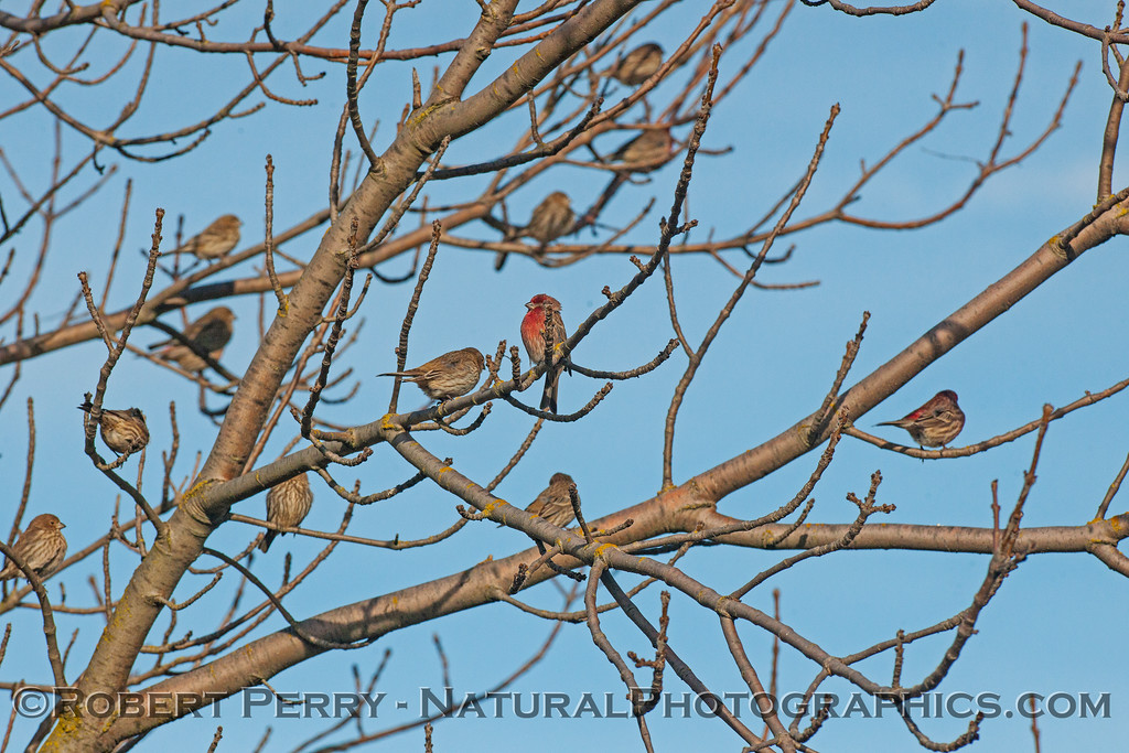 House finches.  Males have red coloration.