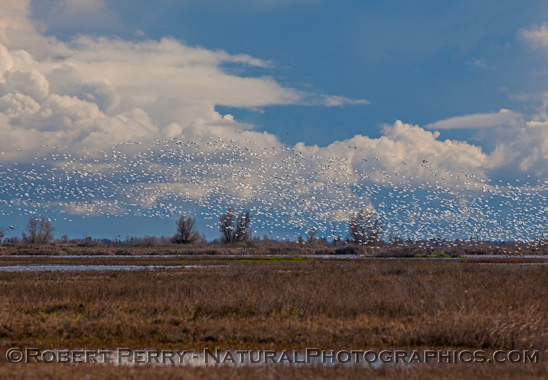 A river of snow geese over the refuge.