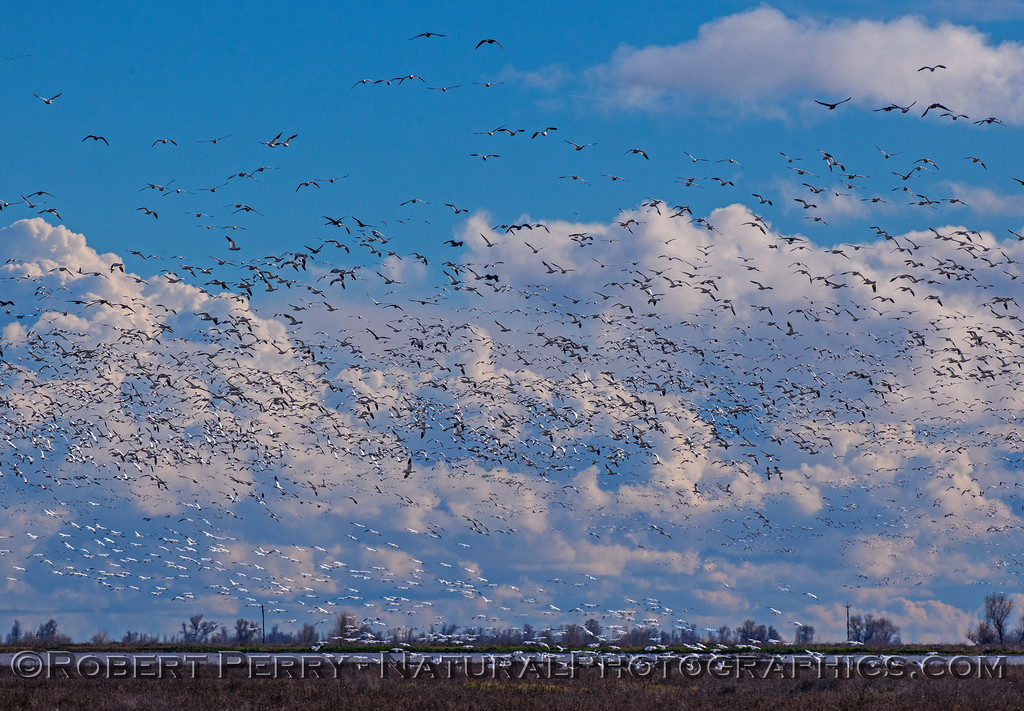 Snow geese and other species over the estuary.