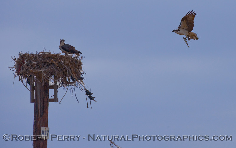 Dinner!  Osprey delivers the goods (Pandion haliaetus).