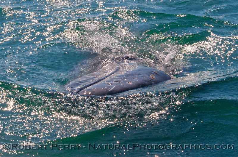 Gray Whale (Eschrichtius robustus) laying on its side in the bright sun.