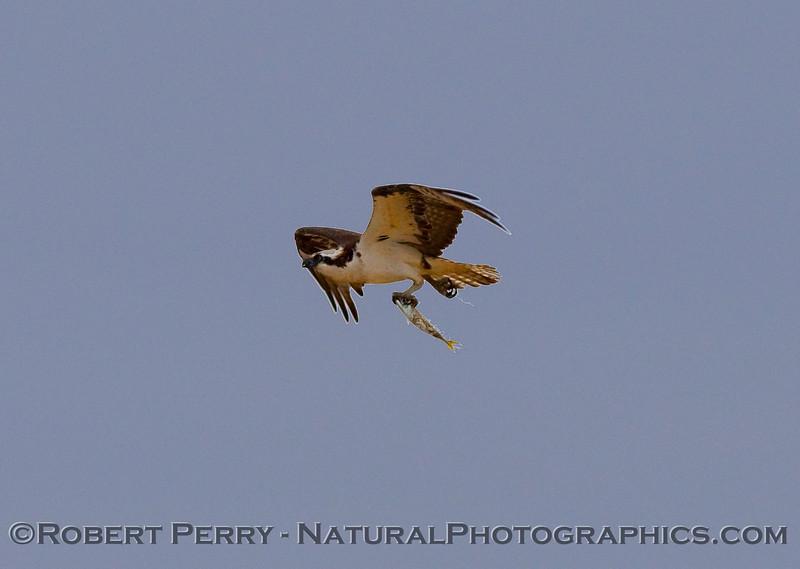 Headin' home with fish dinner - Osprey in flight - Guerrero Negro (Pandion haliaetus).