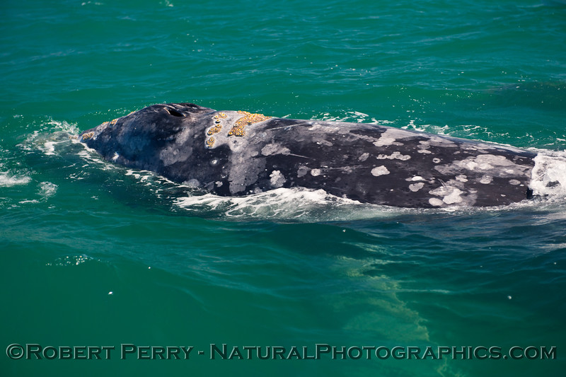 Blowholes and barnacles, adult Gray Whale (Eschrichtius robustus) .
