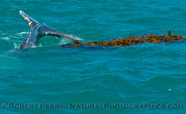 Tail fluke of a Juvenile Gray Whale (Eschrichtius robustus) playing in the kelp.