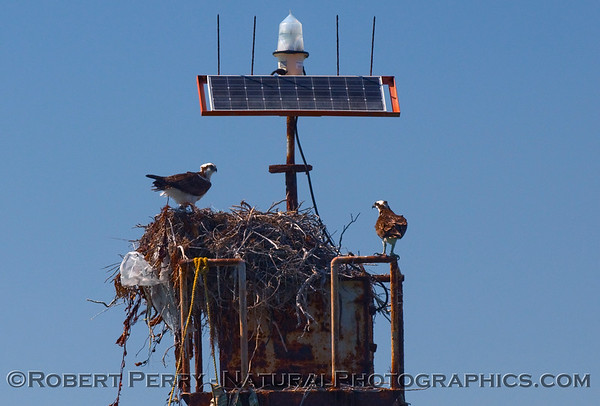 Proud osprey couple on the nest they built atop a navigational aid in the lagoon - Scammon's.