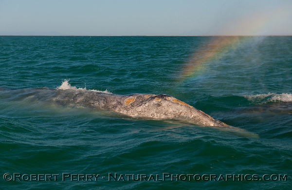 Spray from a spout creates a rainbow from this adult Gray Whale (Eschrichtius robustus).