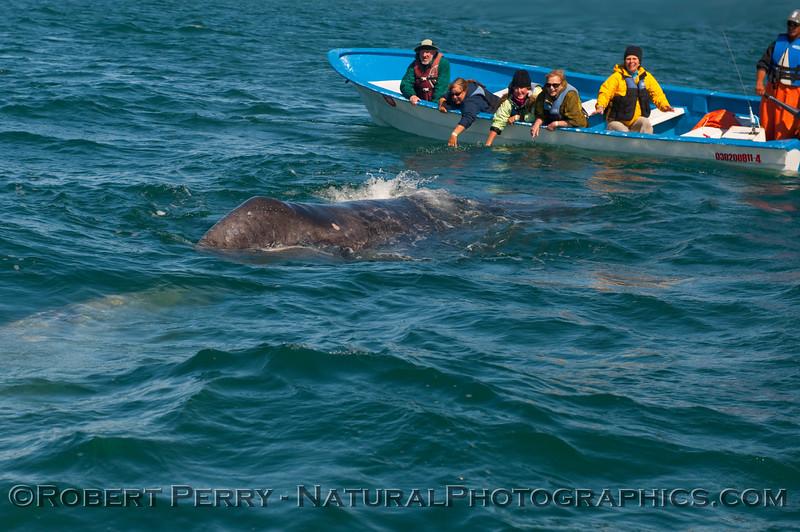 Panga, people and baby whale.