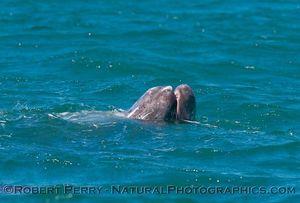 Juvenile Gray Whale (Eschrichtius robustus) munching on some kelp (Macrocystis pyrifera) in the lagoon.