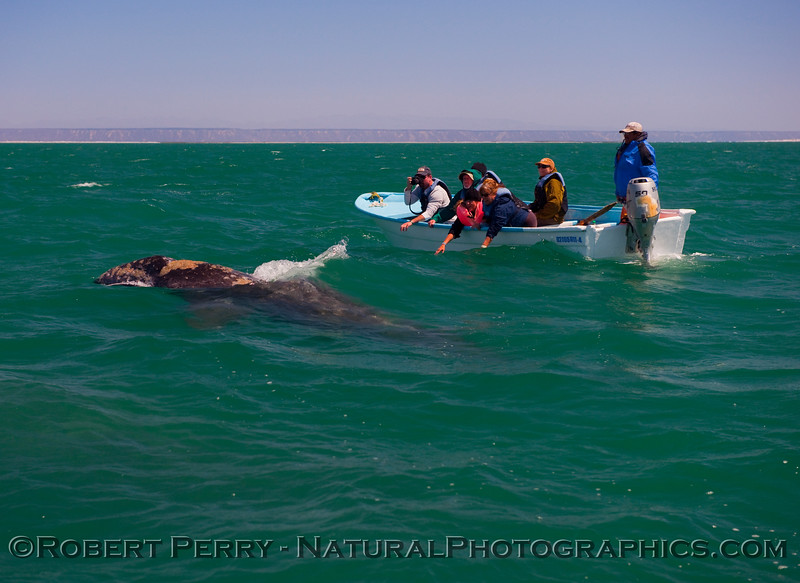 Whalers in panga try to lure a Juvenile Gray Whale (Eschrichtius robustus) over to their boat.