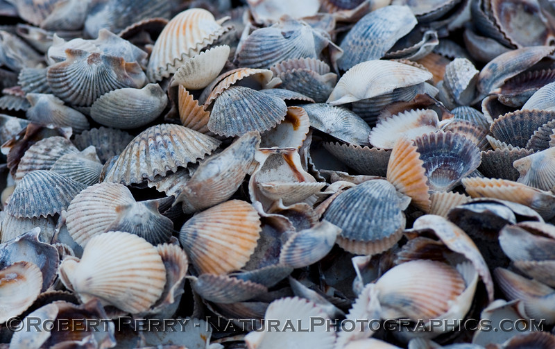 Pacific calico scallops (Argopecten ventricosus) in a pile along the road - Guerrero Negro.