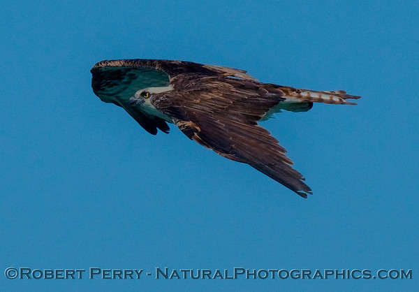 Osprey heads back to the nest (Pandion haliaetus) in flight - Guerrero Negro.