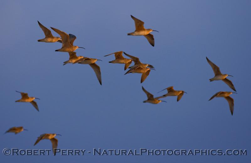 Whimbrels in flight (Numenius phaeopus) - Scammons Lagoon.