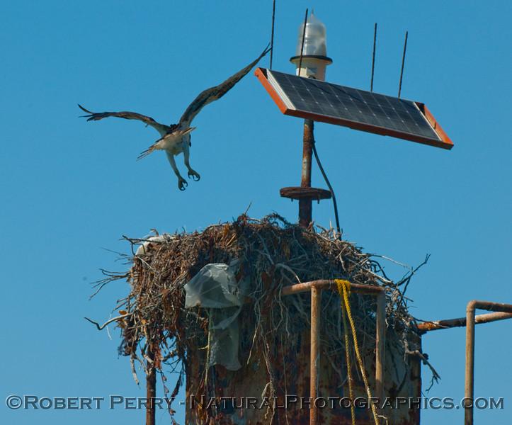 Osprey lands on nest beneath solar powered navigational aid - Scammons Lagoon (Pandion haliaetus).