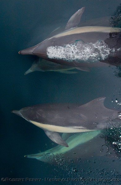 Four (Delphinus capensis) Long beak common dolphins do their ballet.