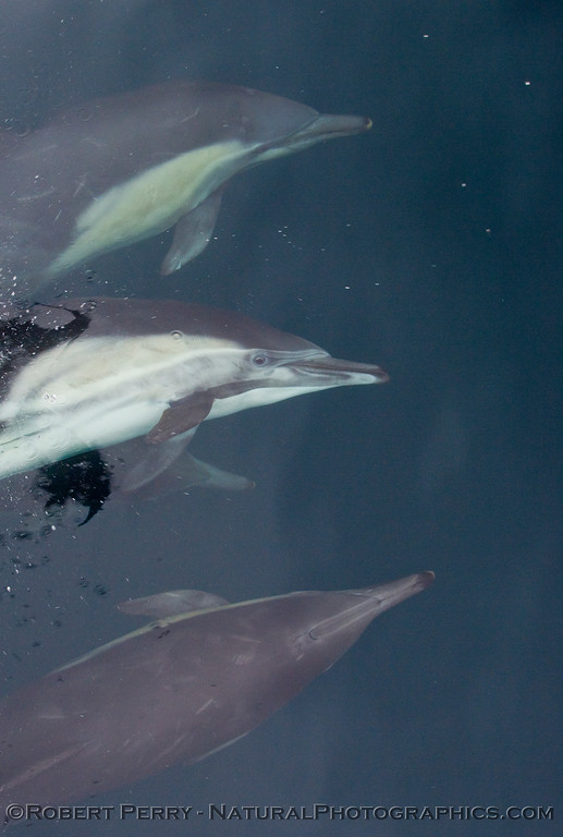 Image 1 of 2:  (Delphinus capensis) Long beak common dolphin eye to eye.  Who's watching who?