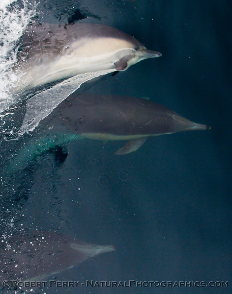 Sideways with pectoral fin piercing the surface membrane: Image 1 of 2:  (Delphinus capensis) Long beak common dolphins playing around.
