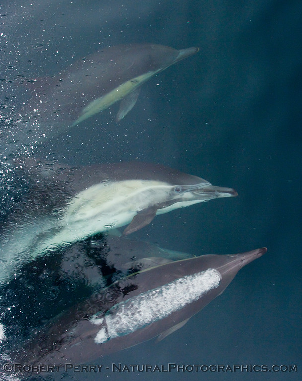 Image 2 of 2:  (Delphinus capensis) Long beak common dolphin eye to eye.  Who's watching who?