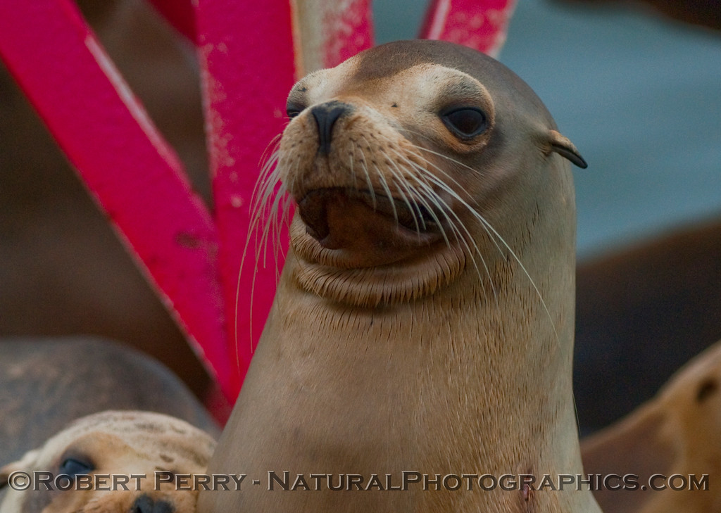 A dry California Sea Lion (Zalophus californianus) poses atop the harbor entrance buoy, Ventura, California.