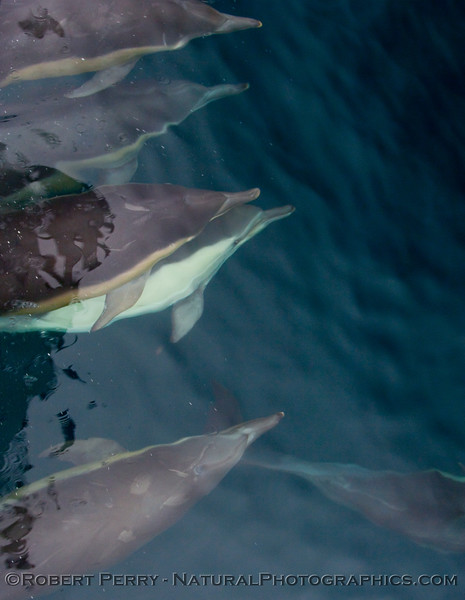 (Delphinus capensis) Long beak common dolphins stacked up and surfin' the bow wave.