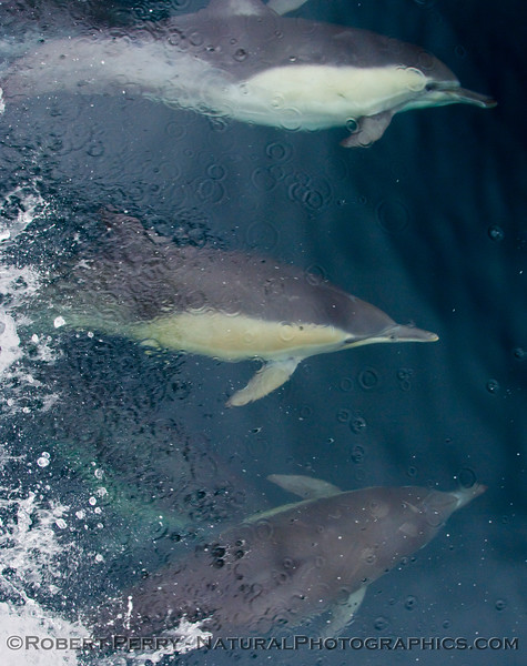 (Delphinus capensis) Long beak common dolphins ride the bow, and one rolls to take a look.