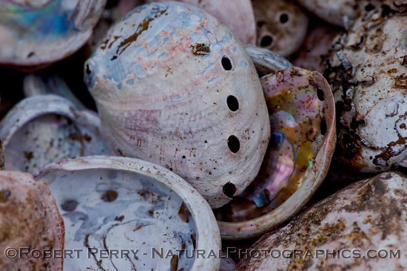 Abalone Farm Haliotis rufescens shell pile 2009 08-18 Cayucos c - 003