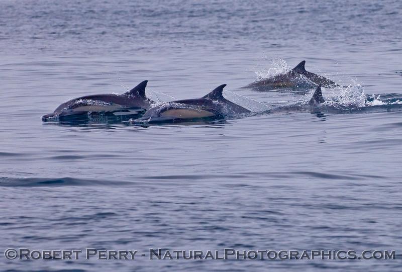 Delphinus capensis 2009 08-18 Morro Bay v - 018