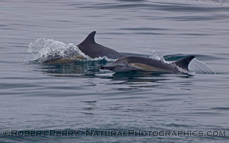 Delphinus capensis 2009 08-18 Morro Bay v - 038