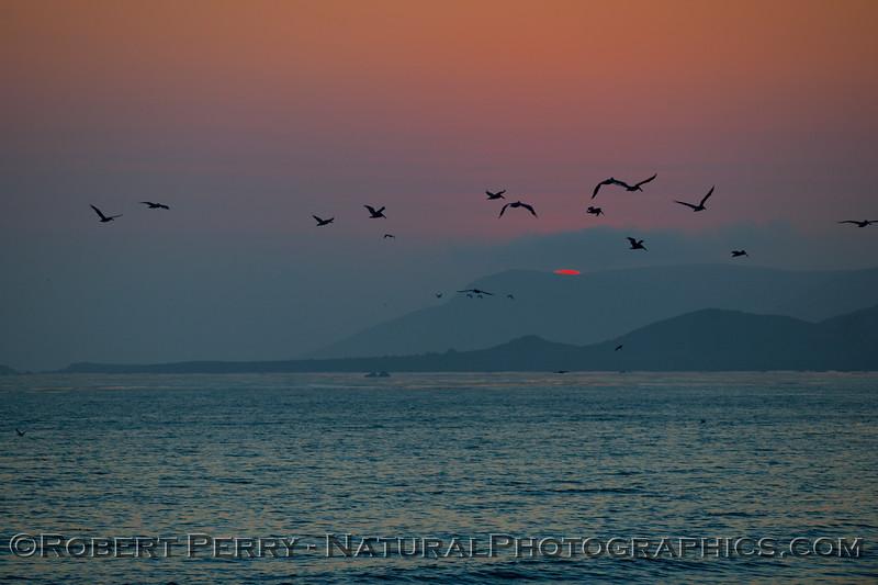 sunset with Pelecanus occidentalis in flight 2009 08-18 Cayucos - 075