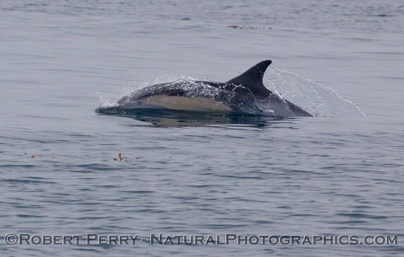 Delphinus capensis 2009 08-18 Morro Bay v - 026
