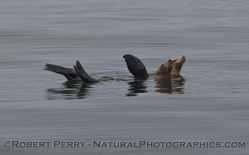 Zalophus californianus rafting 2009 08-18 Morro Bay - 018