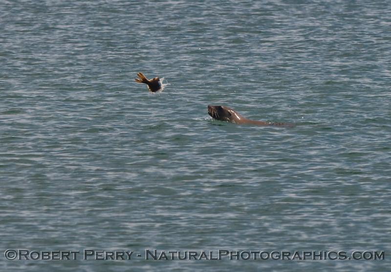 Zalophus tossing a fish 2009 08-18 Morro Bay a - 037