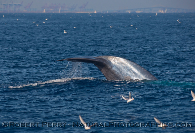 Blue Whale (Balaenoptera musculus) tail fluke sequence...image 3.